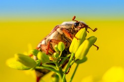 A Maybug (Melolontha melolontha) sitting on a buds of oilseed rape (canola) plants. Sunny day in springtime