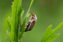 A Maybug (Melolontha melolontha) sitting on a green plant, cloudy day in springtime