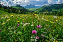 A meadow full of beautiful mountain flowers in the background of the Mala Fatra mountains. Discover the spring beauty of the mountains.