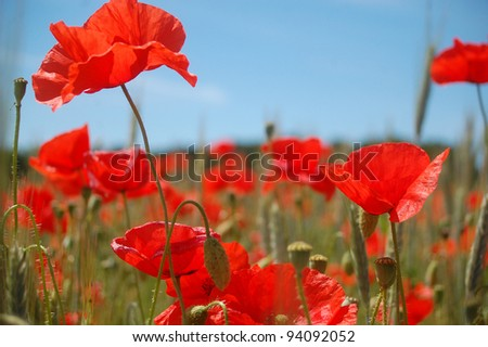 A meadow of beautiful red poppies in summer time.