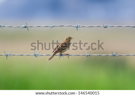 stock-photo-a-meadow-pipit-resting-between-barbed-wires-146540015.jpg