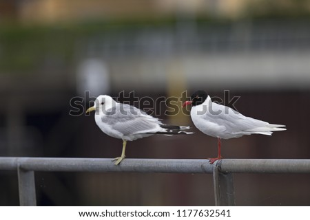 A Mediterranean gull (Ichthyaetus melanocephalus) perched next to mew gulls on a metal railing of the city Bremen. #1177632541