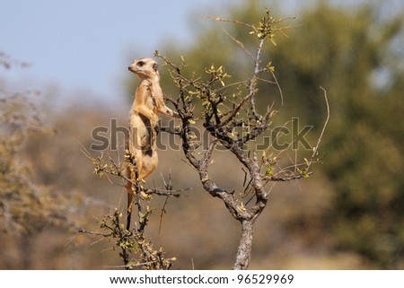 A meerkat or suricate, Suricata suricatta