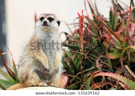 A meerkat, sitting on a rock near a succulent plant, looks around