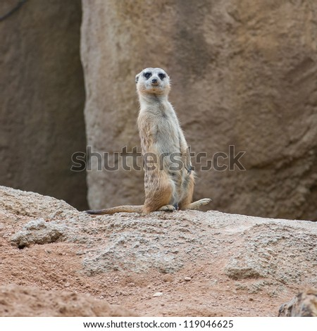A Meerkat Standing Upright And Looking Alert