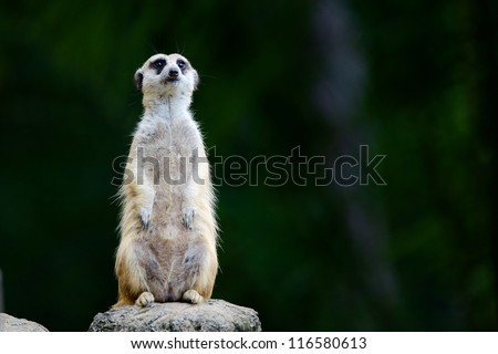 A meerkat stays alert for danger.