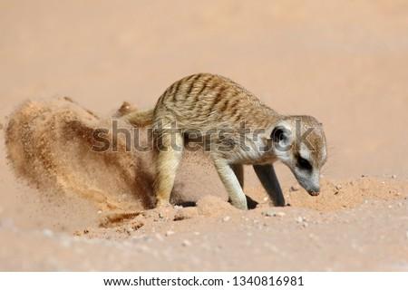 A meerkat (Suricata suricatta) foraging actively in natural habitat, Kalahari desert, South Africa