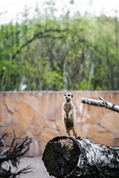 A meerkat (Suricata suricatta) stands upright on a fallen tree trunk at the zoo. Keeping and caring for wild animals in captivity.