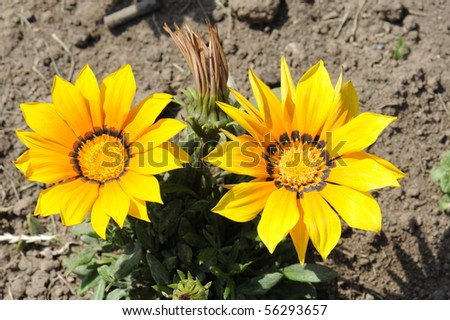 a member of the asteraceae family that can live in drought conditions