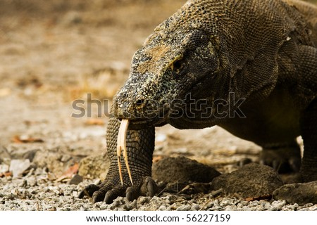 A menacing Komodo Dragon at eye level on Komodo island National Park walks slowly displaying his forked tongue in Indonesia. Horizontal copy space