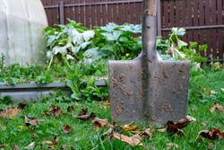 A metal garden shovel with a wooden handle is covered with dried soil and stuck in the ground among green grass and dry autumn leaves.