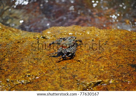 a mexican sally lightfoot crab crawling on a rock