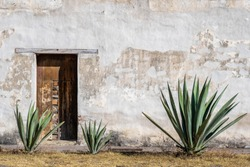 A Mexican scene of three espadin agave plants, against a rugged peeling white wall with a wood door, in Oaxaca, Mexico. With room for text / space for copy.