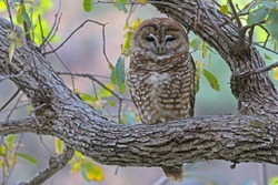 A Mexican Spotted Owl in an oak tree in se Arizona.