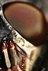 A micro shot of a fly's eye
