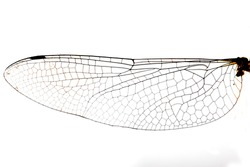 A micro stock photograph of a dragonfly wing.