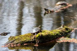 A midland painted turtle (Chrysemys picta marginata), is sunning itself on a mossy log in a swamp pond, its head out and looking back at the viewer curiously.