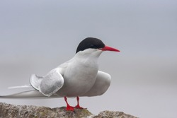 A migratory tern species, Arctic tern, Sterna paradisaea standing on the rock