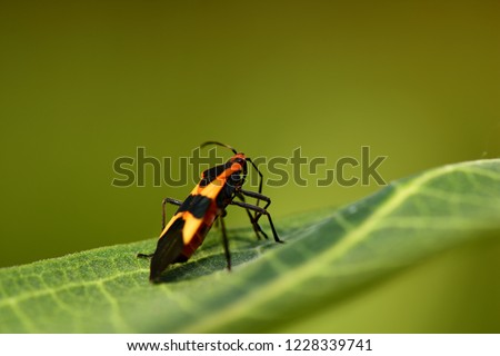 A milkweed assassin bug on a leaf with a natural green background.
