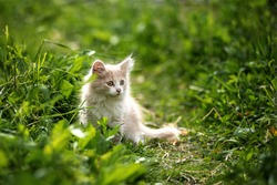 a milky kitten sits in the green grass