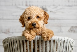 A mini golden doodle puppy looking to the camera (there is a video version)
