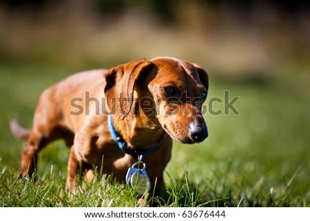 A miniature Dachshund as he walks through the grass.