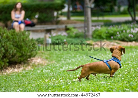 A miniature Dachshund in the grass with a long leash leading to a woman in the distance, sitting on a bench.
