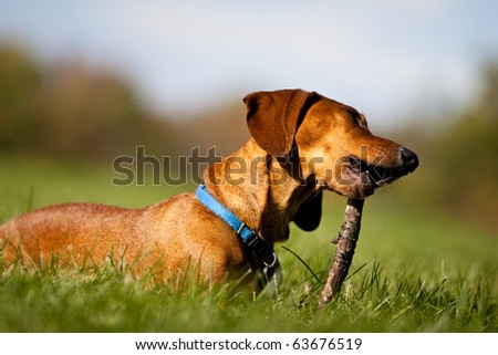 A miniature Dachshund lying in the grass, chewing on a stick.