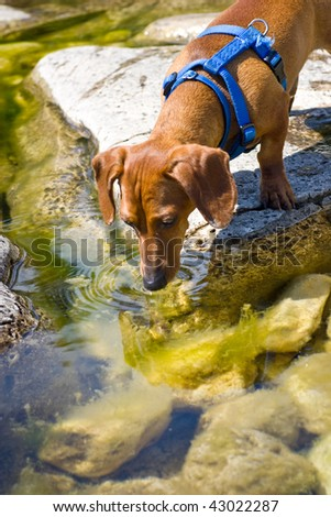A miniature Dachshund on a rock, drinking lake water, with rocks visible below the surface covered in algae.