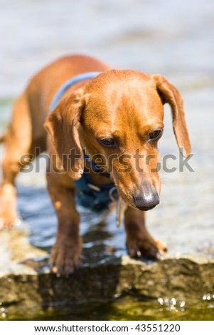 A miniature dachshund standing at waters edge, ready to take a drink. - stock photo