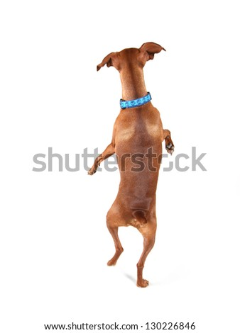 a miniature pinscher looking up