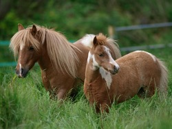 A miniature pony mare and her foal standing in long grass.