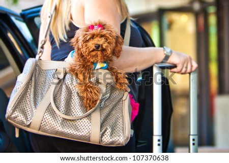 A miniature Poodle dog in a travel carrier bag being held by a woman getting out of a car with a suitcase
