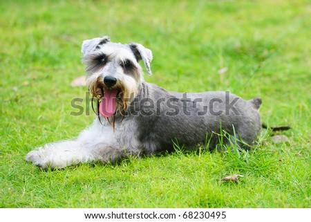 A miniature schnauzer dog lying on the lawn
