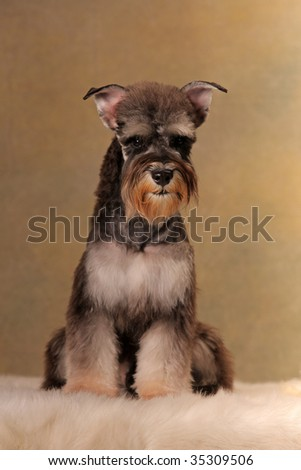 a Miniature Schnauzer  look at me
