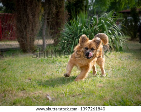 A mixed-breed dog with light-brown medium-length fur is playing in the garden in retrieving a stick, running and biting branches. #1397261840