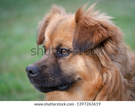 A mixed-breed dog with light-brown medium-length fur is playing in the garden in retrieving a stick, running and biting branches. #1397263619
