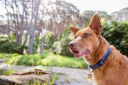A mixed breed tan large dog in nature. In a forest. Wearing a blue collar.
