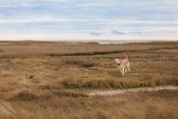 A mixed-breed yellow dog runs joyfully off-leash across marsh grasses