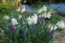 A mixed container of bulbs, lasagne planted to give succession flowering over several weeks. First to appear were grape hyacinths followed by narcissus Thalia and pastel coloured tulips.