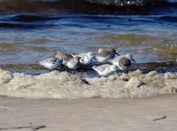 A mixed flock of sanderling and dunlin birds foraging in the surf and foam along a sandy beach on a bright sunny winter day