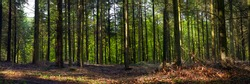 A mixed forest ( pine, spruce and beech ) in a sunny day, summer, by Beckingen,  Saarland / Germany, panoramic XX