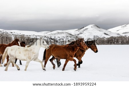 Photo of  A mixed herd of wild and domesticated horses frolics on the Ladder Livestock ranch, at the Wyoming-Colorado border. Original image from Carol M.
