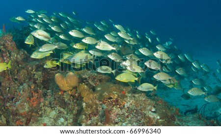 A mixed school of grunts swimming over a reef at a depth of fifty feet in Palm Beach County, Florida.