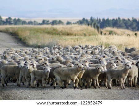 A mob of hoggets being mustered for the first draft of the season. Central Otago, New Zealand.
