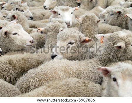 A mob of sheep with orange tags