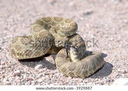 A mojave rattlesnake displaying the defensive posture in an effort to scare away potential harm. This animal was photographed in Arizona.