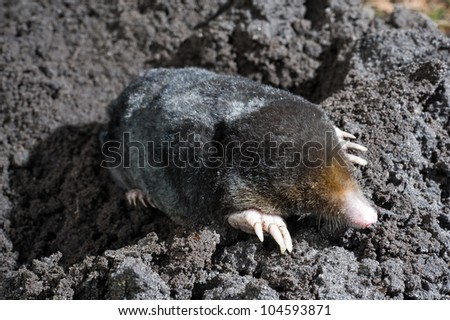 A mole is crawling through the sand