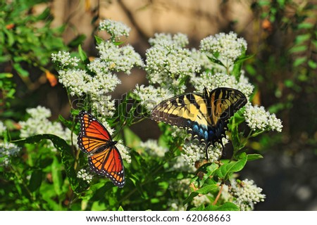 A Monarch and Swallowtail butterfly share a milkweed plant near the Chesapeake Bay in Maryland