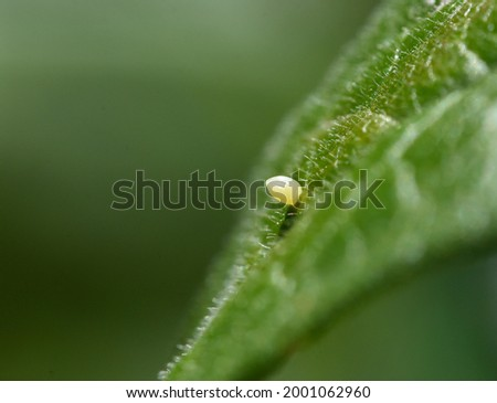 A Monarch butterfly (Danaus plexippus) egg attached to the surface of a milkweed leaf. Side view. Closeup. Copy space.  Stock photo ©